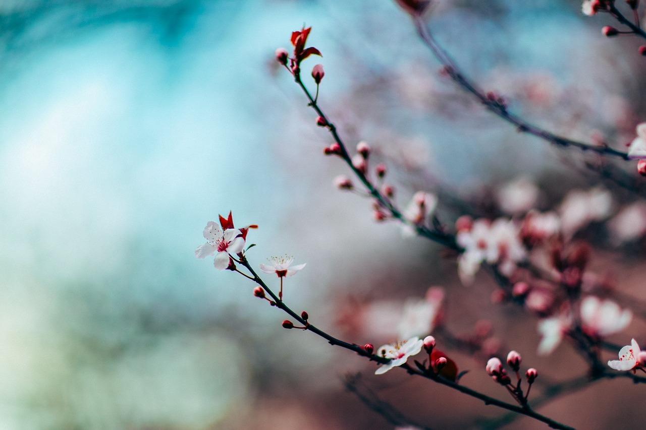 Cherry Blossom Festivals Around the World