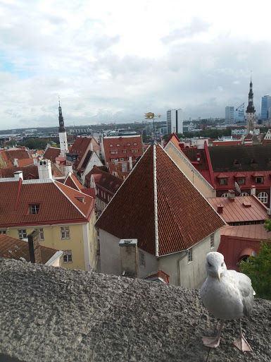 Viewing Platform in Tallinn's old town with Steven the Seagull